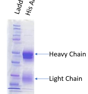 HIS-Tag polyclonal antibody